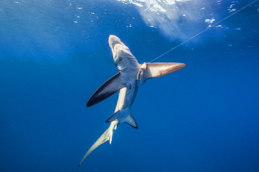 Bigeye Thresher Shark (Alopias superciliosus) caught as by-catch, San Diego, California