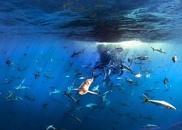 Silky Shark (Carcharhinus falciformis), Galapagos Shark (Carcharhinus galapagensis), Dusky Shark (Carcharhinus obscurus), and Black-tip Shark (Carcharhinus limbatus) group working with Yellowfin Tuna...