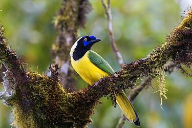 Green Jay (Cyanocorax yncas), Ecuador