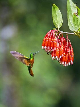 Chestnut-breasted Coronet (Boissonneaua matthewsii) feeding on flower nectar, Ecuador