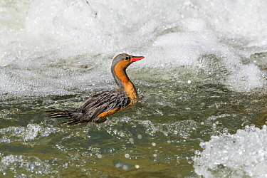 Torrent Duck (Merganetta armata) female in river, Ecuador