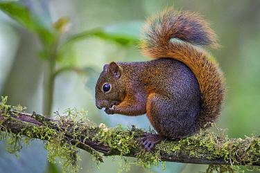 Red-tailed Squirrel (Sciurus granatensis) feeding, northern Ecuador