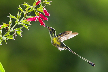 Booted Racket-tail (Ocreatus underwoodii) feeding on flower nectar, Ecuador