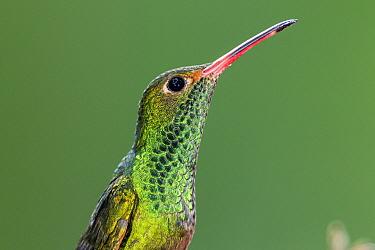 Rufous-tailed Hummingbird (Amazilia tzacatl), Ecuador
