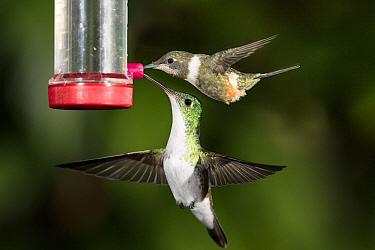 Purple-throated Woodstar (Philodice mitchellii) female and Andean Emerald (Amazilia franciae) hummingbird at feeder, Ecuador