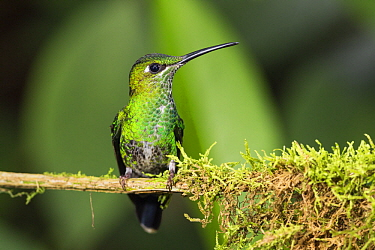 Green-crowned Brilliant (Heliodoxa jacula) female, Ecuador