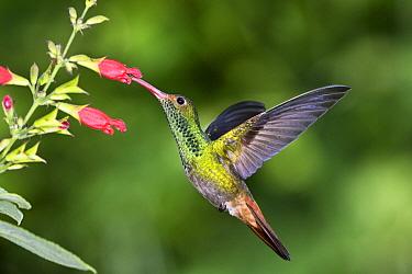 Rufous-tailed Hummingbird (Amazilia tzacatl) feeding on flower nectar, Ecuador