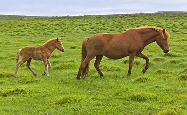 Icelandic Horse (Equus caballus) mare and foal, Iceland