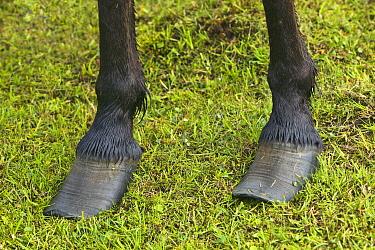 Icelandic Horse (Equus caballus) with overgrown hooves, Iceland