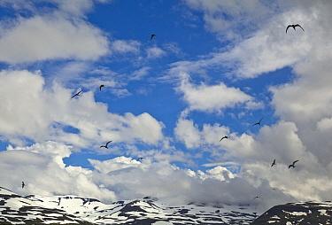 Arctic Tern (Sterna paradisaea) group flying, Haganesvik, Iceland