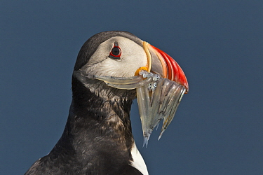 Atlantic Puffin (Fratercula arctica) with fish prey, Borgarfjordur Eystri, Iceland