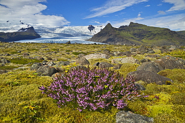 Heather (Calluna sp) flowering in tundra, Skaftafell National Park, Iceland