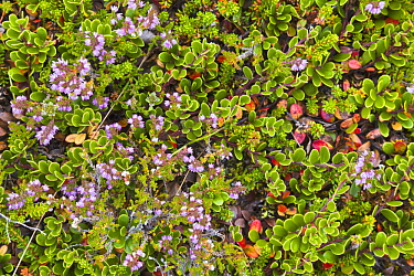 Tundra plants in summer, Skaftafell National Park, Iceland