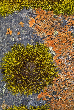 Moss and lichen on rock in tundra in summer, Skaftafell National Park, Iceland