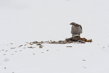 Northern Goshawk (Accipiter gentilis) feeding on Black Grouse (Tetrao tetrix) female in winter, Finland