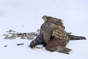 Northern Goshawk (Accipiter gentilis) protecting male Western Capercaillie (Tetrao urogallus) prey in snow, Finland