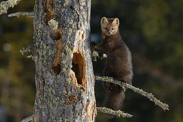 Sable (Martes zibellina) in tree, Lake Baikal, Barguzinsky Nature Reserve, Russia