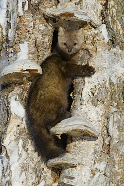 Sable (Martes zibellina) in tree in winter, Lake Baikal, Barguzinsky Nature Reserve, Russia
