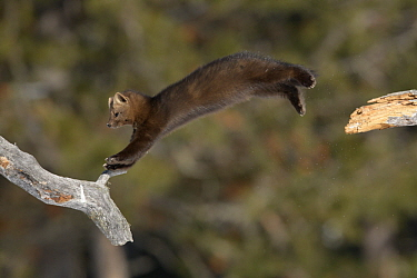 Sable (Martes zibellina) jumping in trees, Lake Baikal, Barguzinsky Nature Reserve, Russia