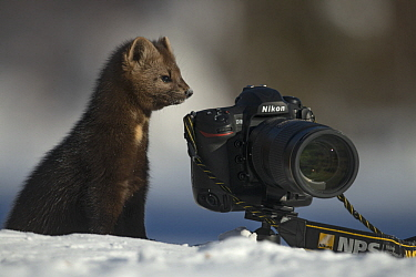 Sable (Martes zibellina) next to camera in winter, Lake Baikal, Barguzinsky Nature Reserve, Russia