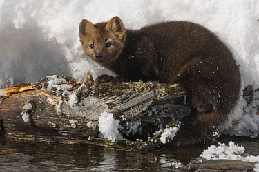 Sable (Martes zibellina) on riverbank in winter, Lake Baikal, Barguzinsky Nature Reserve, Russia