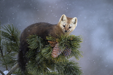Sable (Martes zibellina) in tree in snowfall, Lake Baikal, Barguzinsky Nature Reserve, Russia