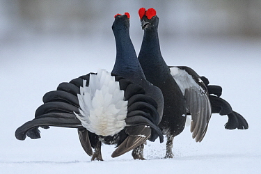 Black Grouse (Tetrao tetrix) males fighting in winter, Tver, Russia