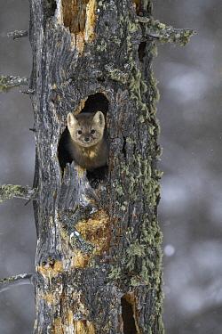 Sable (Martes zibellina) in tree cavity, Lake Baikal, Barguzinsky Nature Reserve, Russia
