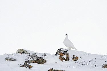 Willow Ptarmigan (Lagopus lagopus) in winter, Taymyr Peninsula, Siberia, Russia