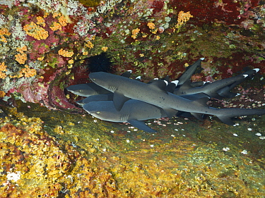 White-tip Reef Shark (Triaenodon obesus) group, Revillagigedo Islands, Mexico