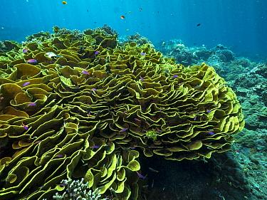 Disc Coral (Turbinaria reniformis) reef, Papua New Guinea