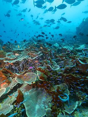 Yellowstripe Anthias (Pseudanthias tuka) school swimming around hard coral, Papua New Guinea