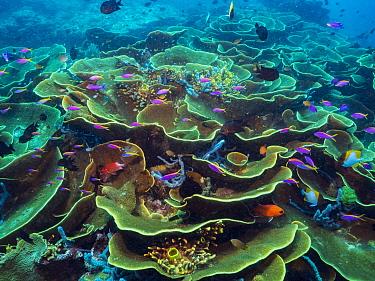 Yellowstripe Anthias (Pseudanthias tuka) school in Disc Coral (Turbinaria reniformis) reef, Papua New Guinea