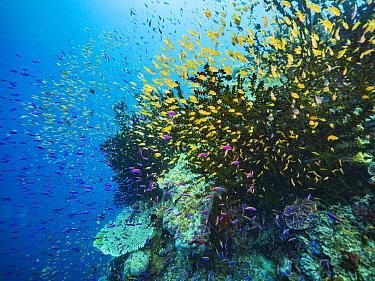 Yellowstripe Anthias (Pseudanthias tuka) and Basslet (Pseudanthias sp) schools in coral reef, Papua New Guinea