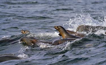 California Sea Lion (Zalophus californianus) group foraging for Northern Anchovy (Engraulis mordax), Monterey Bay, California