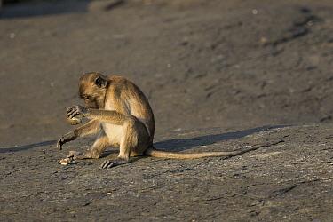Long-tailed Macaque (Macaca fascicularis) using stone tool to crush shell, Piak Nam Yai Island, Thailand