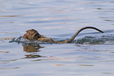 Long-tailed Macaque (Macaca fascicularis) swimming, Thailand