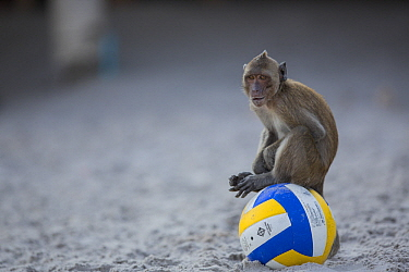Long-tailed Macaque (Macaca fascicularis) on ball on beach, Thailand