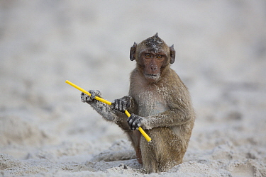 Long-tailed Macaque (Macaca fascicularis) playing with plastic on beach, Thailand