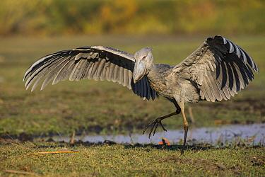 Shoebill (Balaeniceps rex) landing, Bangweulu Wetlands, Zambia