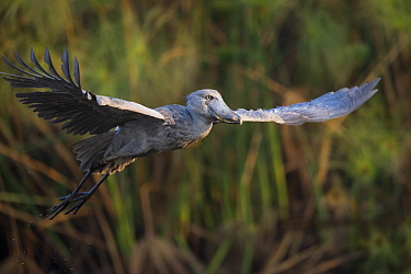 Shoebill (Balaeniceps rex) flying, Bangweulu Wetlands, Zambia