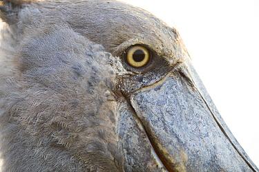 Shoebill (Balaeniceps rex), Bangweulu Wetlands, Zambia