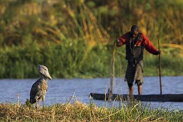 Shoebill (Balaeniceps rex) and fisherman, Bangweulu Wetlands, Zambia