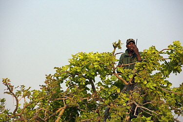 Shoebill (Balaeniceps rex) biologist, Elijah Mofya, on radio in tree, Bangweulu Wetlands, Zambia