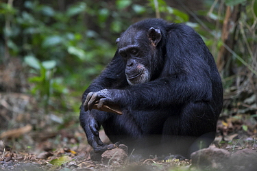 Chimpanzee (Pan troglodytes) female named Jire using stone tool to crack nuts, Bossou, Guinea