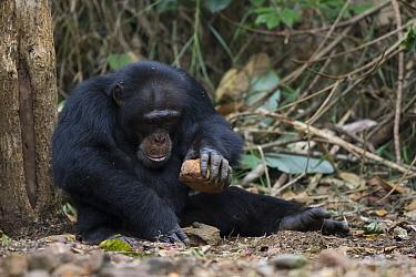 Chimpanzee (Pan troglodytes) male named Jeje using stone tool to crack nuts, Bossou, Guinea