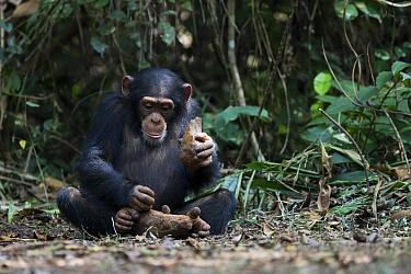 Chimpanzee (Pan troglodytes) using stone tool to crack nuts, Bossou, Guinea. Sequence 1 of 3