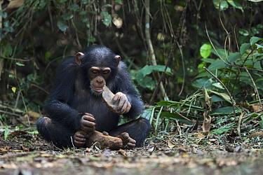 Chimpanzee (Pan troglodytes) using stone tool to crack nuts, Bossou, Guinea. Sequence 2 of 3