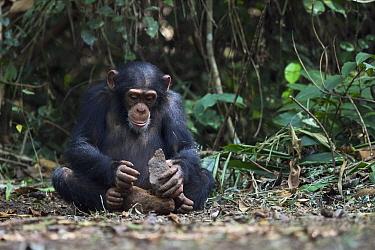 Chimpanzee (Pan troglodytes) using stone tool to crack nuts, Bossou, Guinea. Sequence 3 of 3