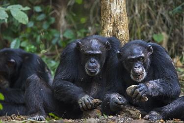 Chimpanzee (Pan troglodytes) pair using stone tool to crack nuts, Bossou, Guinea